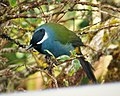 Eastern Crested Berrypecker. (Paramythia montium) (3)b (48616099623).jpg