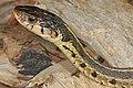 Eastern Garter Snake - Thamnophis sirtalis, Occoquan Bay National Wildlife Refuge, Woodbridge, Virginia (24086318108).jpg