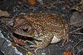 Eastern Giant Toad (Peltophryne peltocephala) (8575065392).jpg