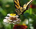 Eastern Tiger Swallowtail Papilio glaucus Feeding.jpg
