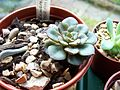 Echeveria Moranii and a leaf cutting from Echeveria Frosty. (5022388963).jpg