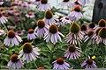 Echinacea purpurea - 3.jpg