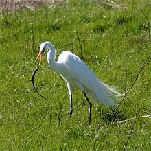 A white heron with grey legs and a yellow/orange bill standing in green grasses throwing a lizard with its bill