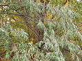 Elaeagnus angustifolia (4970180479).jpg
