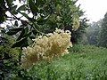Elderflowers in the rain - geograph.org.uk - 822827.jpg