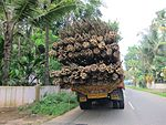 Elephant bamboo - India reed bamboo - ഈറ്റ 02.JPG