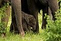 Elephant calf.jpg