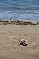 Elephant seals, Piedras Blancas 07.jpg