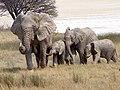 Elephants infront of Etosha pan (Namibia).jpg