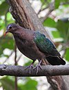 Emerald Dove Chalcophaps indica by Female Dr. Raju Kasambe DSCN1106 (7).jpg
