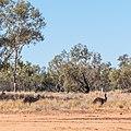 Emu Burke River floodplain Boulia Shire Queensland P1060876.jpg