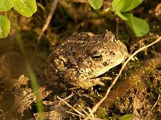 Natterjack toad - A slightly older natterjack, though still not fully grown