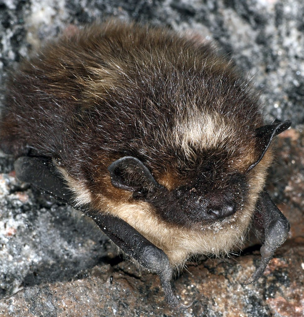 Eptesicus nilssonii hibernating