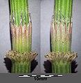 Equisetum arvense subsp. arvense sl38.jpg