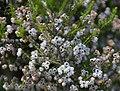 Erica hirtiflora 01.jpg