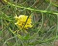 Ericameriapinifolia.jpg