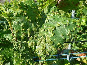 Rinose wikip dia - Traitement de la vigne ...