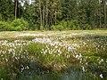 Eriophorum angustifolium - Burgwald 002.jpg