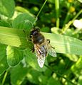 Eristalis Sp. - Flickr - gailhampshire (1).jpg