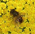 Eristalsis sp. ( tenax^) - Flickr - gailhampshire.jpg