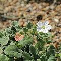Erodium corsicum-IMG 6362.jpg