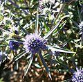 Eryngium amethystinum ENBLA01.JPG