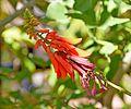 Erythrina humeana in Jardin des Plantes de Toulouse 05.jpg