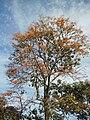 Erythrina poeppigiana (Walp.) O.F.Cook - 2013 009.jpg
