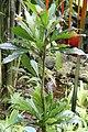 Erythrochiton brasiliensis 14zz.jpg