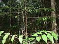 Espécie de Árvore da amazonica.JPG