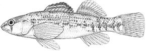Etheostoma spectabile.jpg