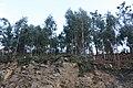 Eucaliptos solo 01-02.JPG
