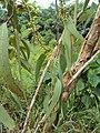 Eucalyptus camaldulensis 13.JPG