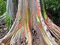 Eucalyptus deglupta-base big size.jpg