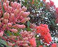 Eucalyptus ficifolia dehiscent flower bud.jpg