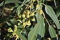 Eucalyptus gomphocephala frutos.JPG