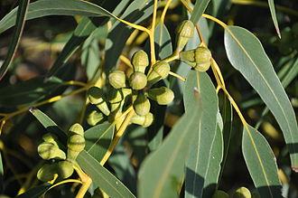 Eucalyptus gomphocephala - Flower buds