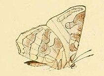 Euliphyra leucyania.JPG