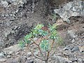 Euphorbia atropurpurea (Euphorbiaceae) (1).jpg