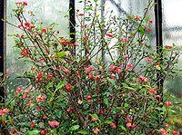 Euphorbia geroldii - Botanischer Garten Bonn