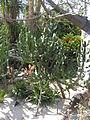 Euphorbia lactea 'cristata' - Jardin d'Éden.JPG