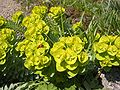 Euphorbia myrsinites 3.jpg