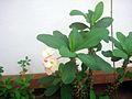 Euphorbia plant show 1.JPG