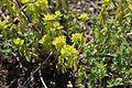 Euphorbia verrucosa in Jardin Botanique de l'Aubrac 01.jpg
