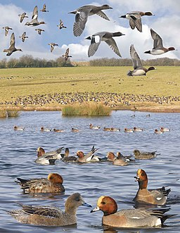 Eurasian Wigeon from the Crossley ID Guide Britain and Ireland
