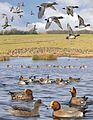 Eurasian Wigeon from the Crossley ID Guide Britain and Ireland.jpg