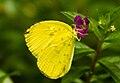 Eurema blanda, Sukorambi Botanical Gardens 01.jpg