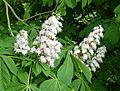 European Horse Chestnut Flowers. Aesculus hippocastanum - Flickr - gailhampshire.jpg