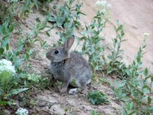 File:European Rabbit.ogv
