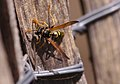 European paper wasp on our fence (34233496950).jpg